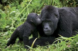 gorilla1